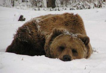 Pourquoi sucer patte d'ours et dormir en hiver?