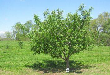 Apple Tree Rock – una delle migliori varietà per Russia Centrale