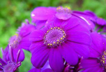Odcieniach fioletu: odmiany, połączenie z innymi kolorami