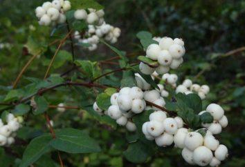 Snowberry: siembra y mantenimiento, descripción y reproducción