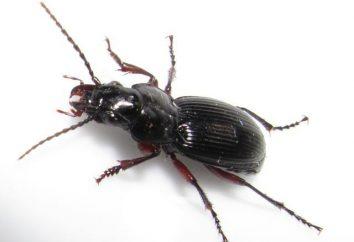 Escarabajo del pan: descripción y control de la plaga