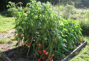 Tomates de Rosemary F1: descripción de variedades y cultivo