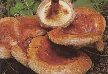 Svinushki sottile – fungo, il cui uso può essere fatale