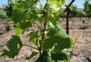 Potatura uva nel mese di agosto. Caratteristiche cura dell'uva in estate