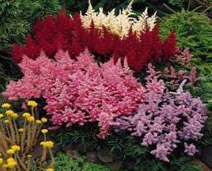 Astilba: varietà, in particolare la coltivazione e la semina