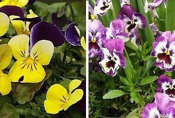 giardino Viola: la semina e la cura