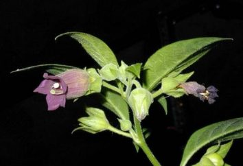 Belladonna roślin. Homeopatia i medycyna konwencjonalna