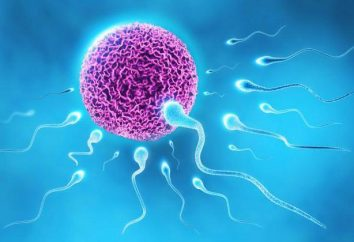 Spermatogenezy – co to jest?