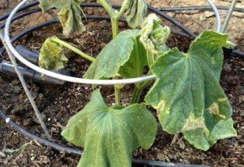 Pourquoi détruirais feuilles de concombres: causes les plus fréquentes