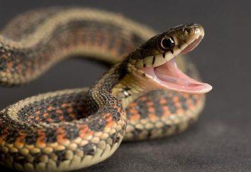 Por que uma cobra sonha em morder ou querer se apressar?