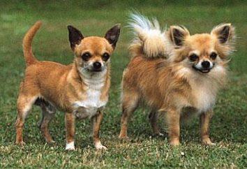 Chihuahua estándar: descripción y fotos