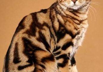 Jaka jest natura kotów bengalskich