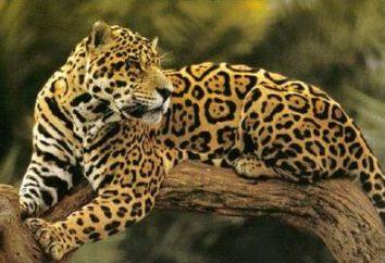 Jaguar: os reis do animal