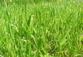 Fitoterapia: Przydatne właściwości trawy pszenicy