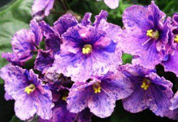 Violet chimera: descrizione, la propagazione, la coltivazione e le varietà