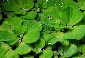 Piste Aquarienpflanze oder Wassersalat: Beschreibung, Fotos, Inhalt