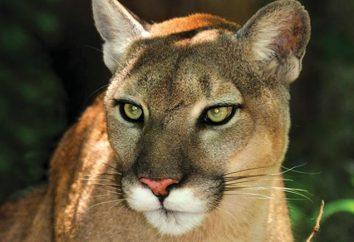 Florida Panther: descrição e fotos