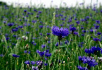 Chaber: Właściwości terapeutyczne i przeciwwskazania, opis, zdjęcia kwiatów
