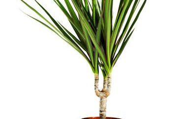 Dracaena: pontas das folhas secas. Dracaena marginata – cuidados em casa