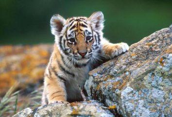 Cosa tigre sogno? Sogno libro contribuirà a rispondere a questa domanda