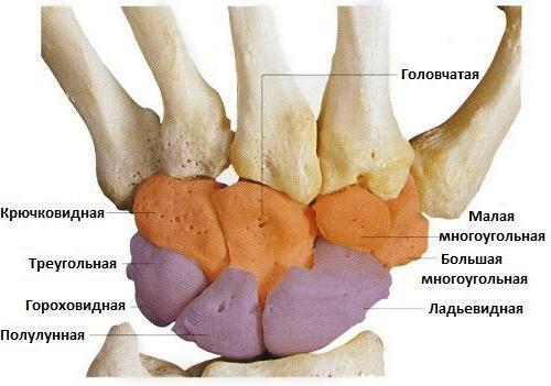hueso del carpo: estructura y función