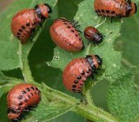 Colorado larvas do besouro de batata. Controlar o escaravelho da batata do Colorado