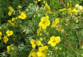 arbusto Potentilla: la cura e la coltivazione. Consigli giardinieri