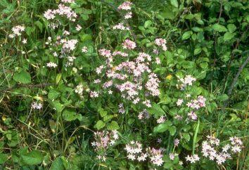 erba Tirlich: Descrizione e proprietà utili delle piante