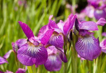 Iris – un fiore, un favorito con molti giardinieri