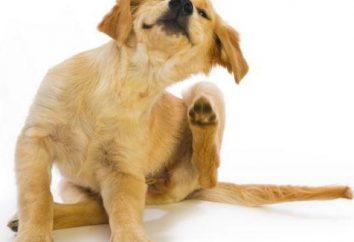 Skuteczne leczenie w domu pozbawiając psów