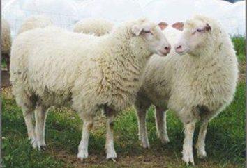 Mi chiedo se ci sia un corno pecore?