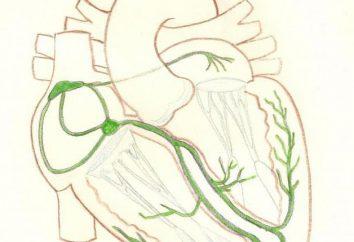 włókna Purkinjego w sercu