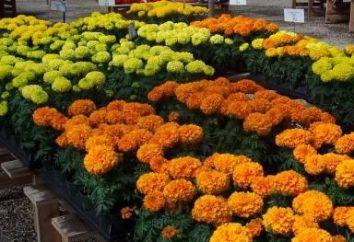 Kwiaty nagietki. Gatunki i odmiany nagietka. rosnące kwiaty