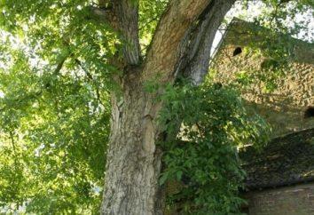 Pianta un albero della vita se sai come crescere le noci di noce