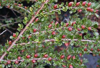 horizontal Cotoneaster avec des fruits rouge vif
