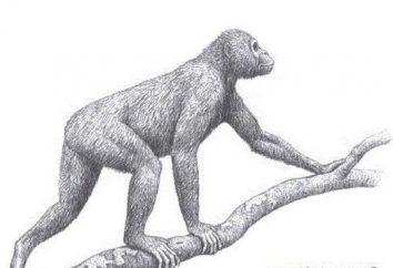 Driopithecus: durée de vie, l'habitat et les caractéristiques des