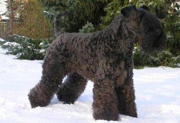 Azul de Kerry Terrier: a natureza ea complexidade do conteúdo, doença e cuidados