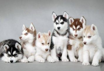 Die besten Spitznamen für Husky