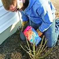 Primavera fertilizar rosas: as regras básicas