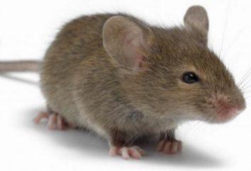 In un sogno vedo i topi! Cosa potrebbe significare?