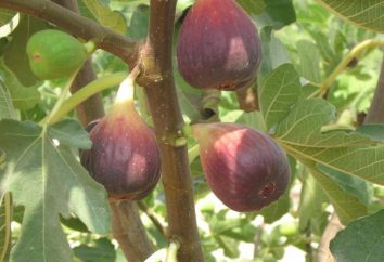 Pourquoi utiliser des figues? Harm et avantages de figues
