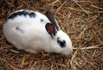 L'abattage de lapins à la maison. Méthodes de lapins d'abattage