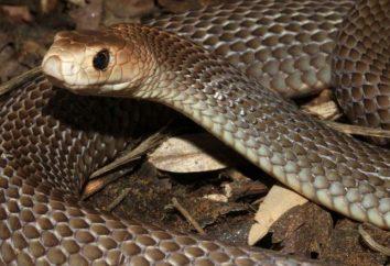 Le serpent le plus dangereux en Australie: photo et la description