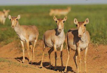 Kalmouk Antelope: photo et description. Saïga: où il vit et ce qu'il mange