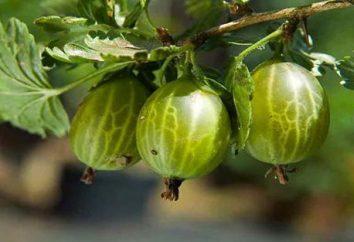 Uva spina: semina in primavera e in autunno, la cura