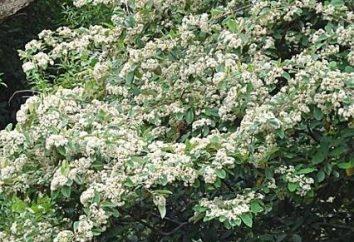 Cotoneaster comune come elemento di progettazione del paesaggio