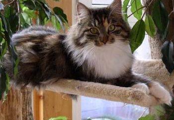 Kot syberyjski – najlepszy pet