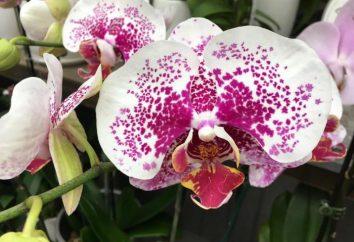 Come applicare un cocktail vitaminico per le orchidee?