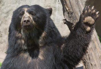 Niedźwiedź okularowy – południowoamerykański kuzyn syberyjskich Niedźwiedzie