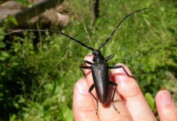 Cerambyx – owad, wymienione w Czerwonej Księdze